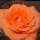 Beautiful Peach Rose~ by e  owen