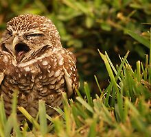 Sleepy Owl by Mandy Wiltse