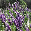 Lupines by Tracy Faught