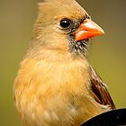 Female Cardinal Portrait by Photography by TJ Baccari