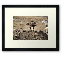 Juvenile Bald Eagle Feeding Framed Print