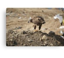 Juvenile Bald Eagle Feeding Canvas Print
