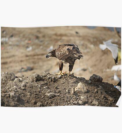 Juvenile Bald Eagle Feeding Poster