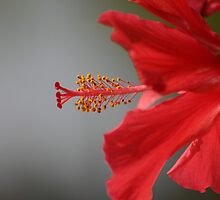 _Hibiscus_ by K Y R S T I E  kyle Photography