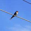 welcome swallow sits on the powerline..... by Amy Evans