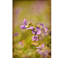 Playful Wild Violets Photographic Print