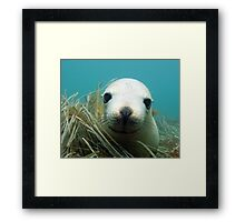 Australian Sea Lion Framed Print