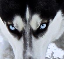 If Looks Could Kill - Black and White Husky Sticker