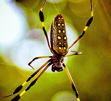 Costa Rica Araña (Spider)  by HanselASolera