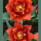 double tulips-redto greenbg!:P and green by LisaBeth