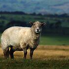 The Sheep by Julian MacDonald
