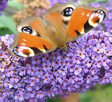 Butterfly 1 by Nobleone