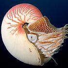 Chambered Nautilus by Andrew Trevor-Jones
