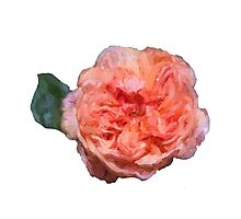 Pink Painted rose Photographic Print