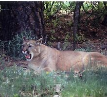 Mountain Lion-CO. by JohnWright