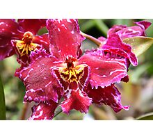 Magenta & Yellow Orchid Photographic Print