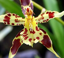Maroon & White Orchid (odontoglossum) by Laurel Talabere