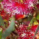 Red flowering gum by Jennifer Craker