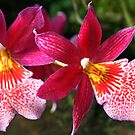 Red-pink & White Orchids (Zygopetalum) by Laurel Talabere