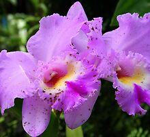 Light Purple Spotted Orchids (cattleya) * by Laurel Talabere