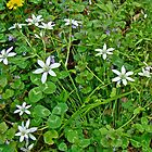 Star Of Bethlehem Wildflowers - Ornithogalum umbellatum - Grass Lily by MotherNature