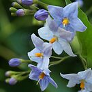 "blue  solanum jasminoides (""potato vine"") by picketty"