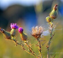 Silybum Marianum - Marian Thistle   East Moriches, New York by © Sophie W. Smith