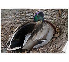Sleeping Duck Poster