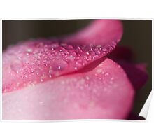 Pink Rose after the Rain Poster