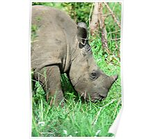 UP CLOSE THE BABY RHINO - White Rhinoceros - Ceratotherium simum  -  WIT RENOSTER Poster