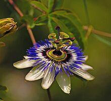 passion flower by lochef