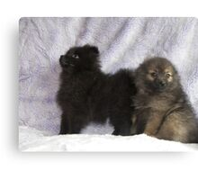pomeranian pups Canvas Print
