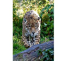 Padded Paws-Jaguar Photographic Print