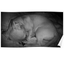 Curled up Sleeping Puppy Poster