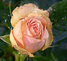 Apricot Rose and Raindrops by LoneAngel