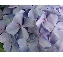 Purple Hydrangea Bunch Photographic Print