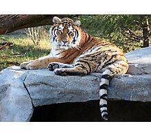 Regal Amur Tiger Photographic Print