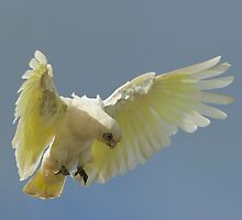 Corella by David  Hibberd