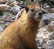 Marmot, San Juan Mountains by Shawn Powell