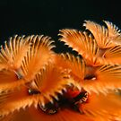 Christmas Tree Worms by George Cathcart