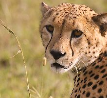 Cheetah Portrait by Nickolay Stanev