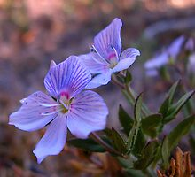 Coast Speedwell by Ian Berry