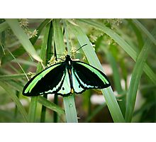 Green Butterfly Photographic Print