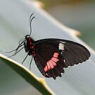 Swallow-tail by mc27