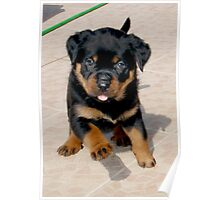 Cute Female Rottweiler Puppy Running Poster