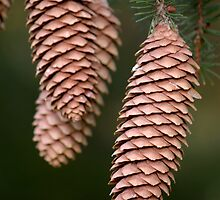 Pine Cones by rdshaw