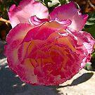 Glowing pink rose by loiteke