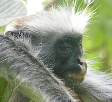 Red Colobus Monkey by susannamike