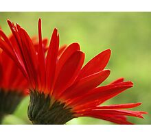 Little Red Head Photographic Print