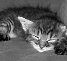 Kitten Cat  by sylvainlitwin